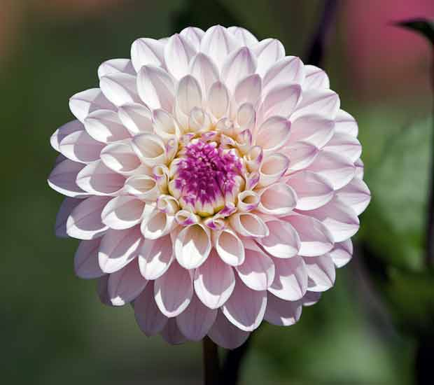 White With Purple Pom-Poom Dahlia
