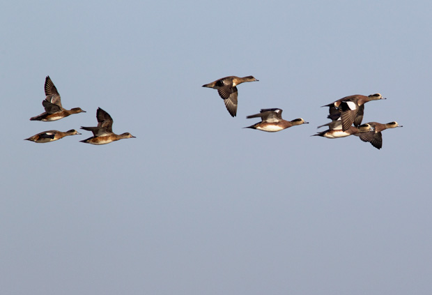Widgeons Flying