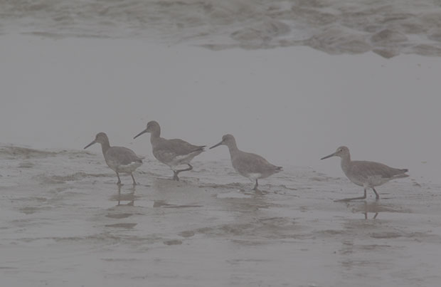 Willets in Fog