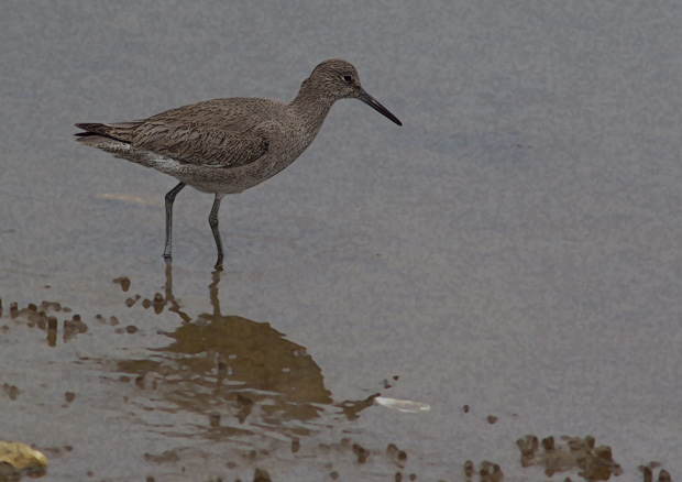 Willet On a Gray Day