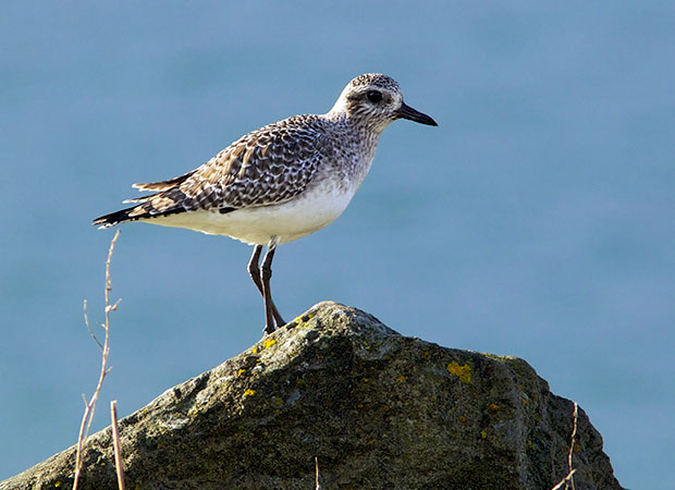 Black-Bellied Plover in non-breeding colors
