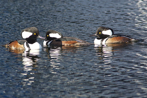 male Hooded Mergansers