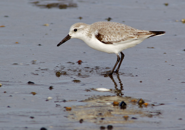 Sandling in Winter Plumage