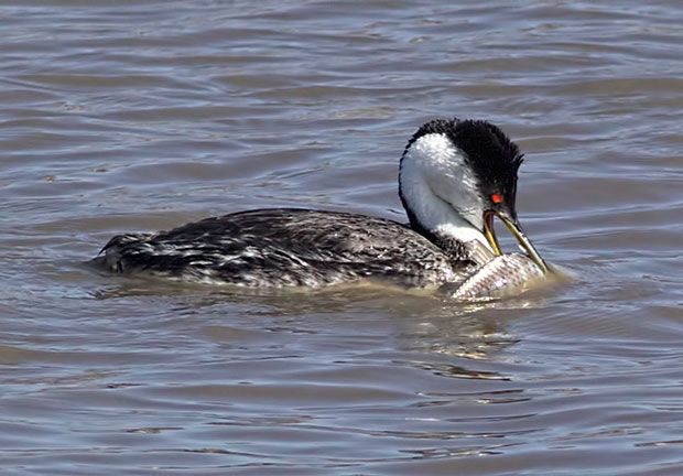 Western Grebe with Carp
