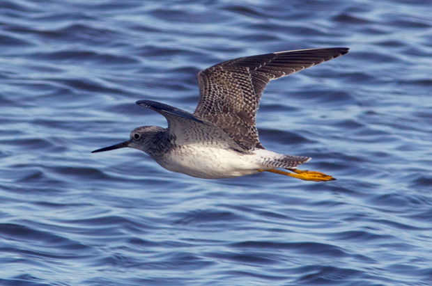 Yellowlegs in Flight