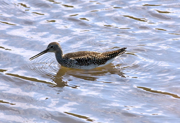 Yellowlegs In Deep Water