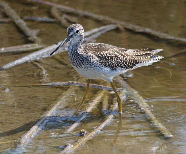 Yellowlegs Wading in Shallow Water