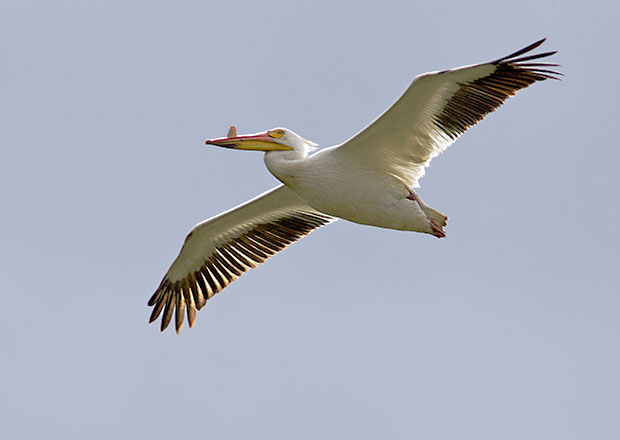 Pelican Fly Over