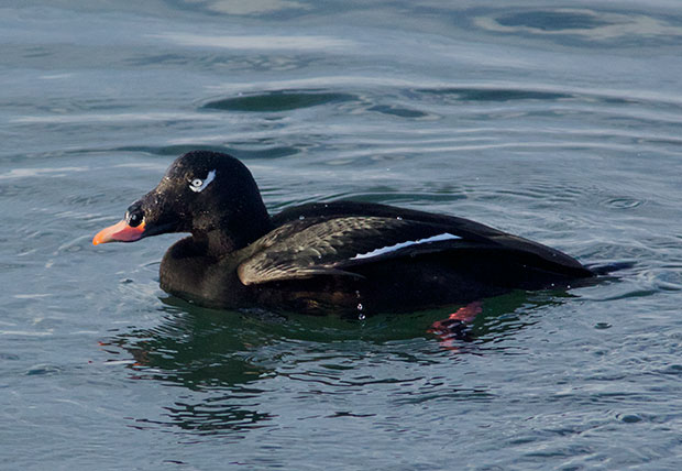 male White-Winged Scoter