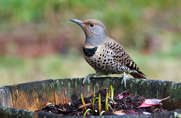 female Red-Shafted Flicker