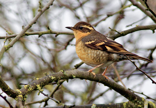 female Varied Thrush