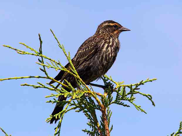 juvenile Red-Wing Blackbird