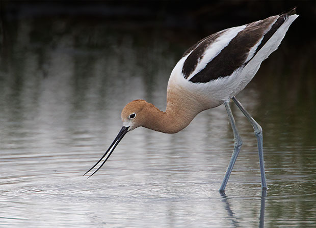 American Avocet in breeding colors