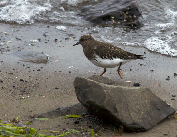 non-breeding Turnstone