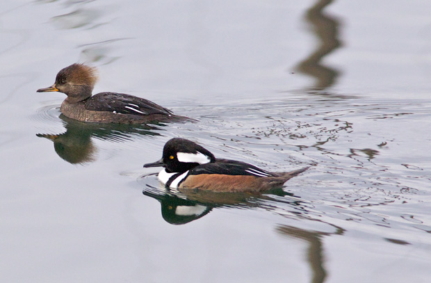 pair of Hooded Mergansers