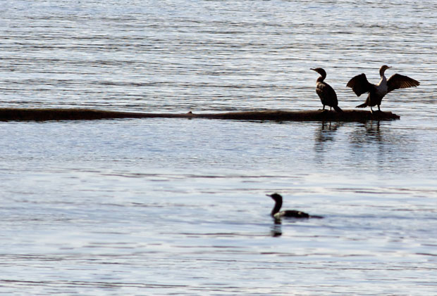 Cormorants on a log