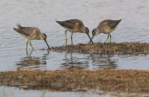 Three Dowitchers