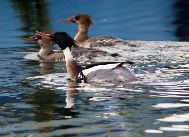 three mergansers in different stages of breeding plumage