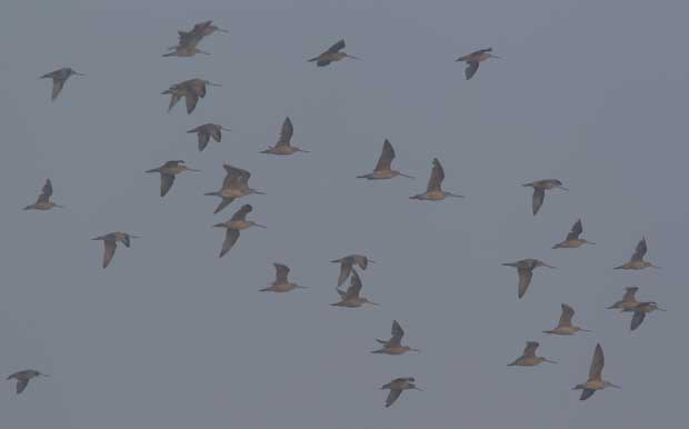 Flock of Godwits in light fog