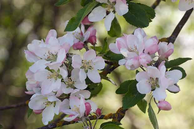 Pink and White Blossoms