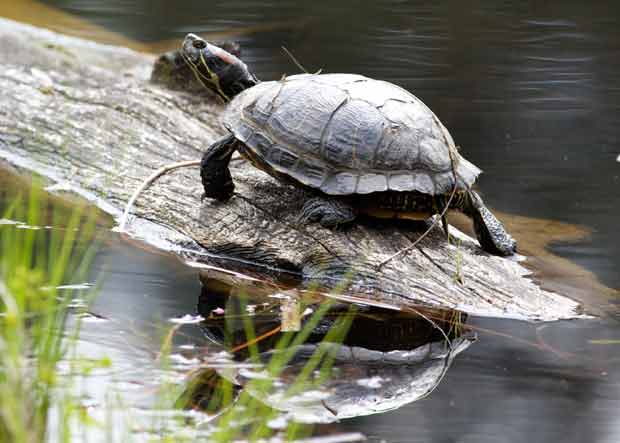 Painted Turtle Sunning