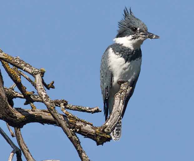 Belted Kingfisher On Branch