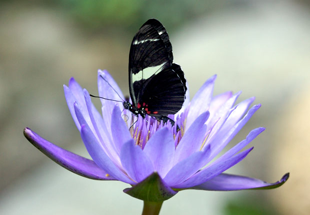Black butterfly on lotus blossom