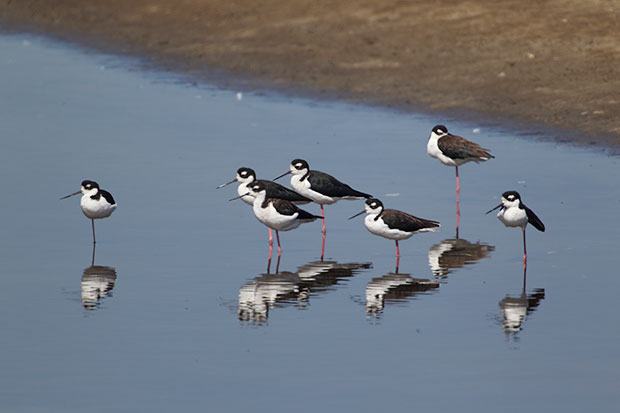 flock of Black-Necked Stilts