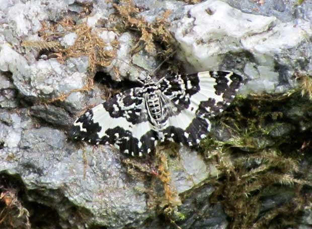 Black and White Butterfly/Moth