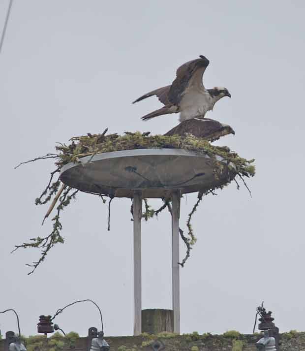 Osprey  Breeding