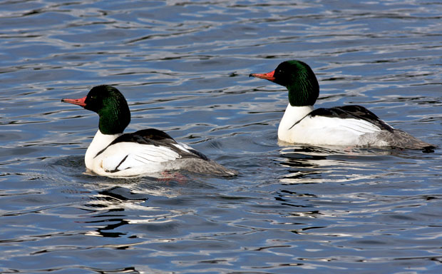 male Common Mergansers in Breeding Plumage