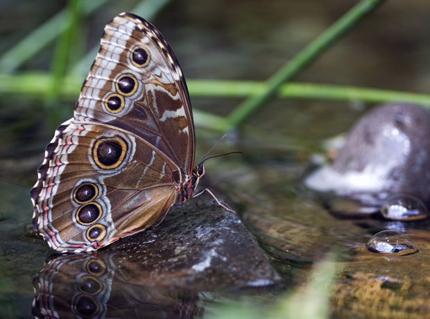 Blue-Brown Butterfly