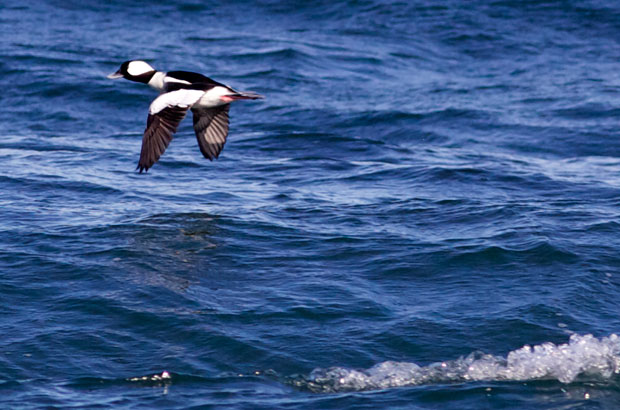 male Bufflehead in Flight