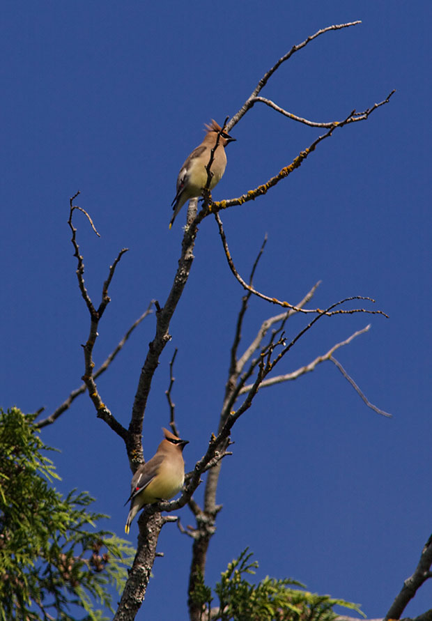Cedar Waxwings in Treetops