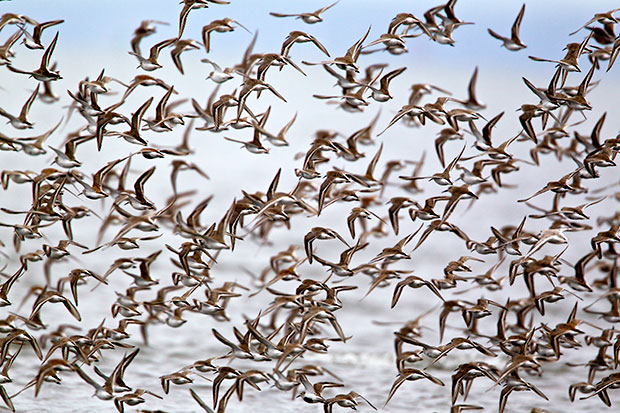 a wave of shorebirds