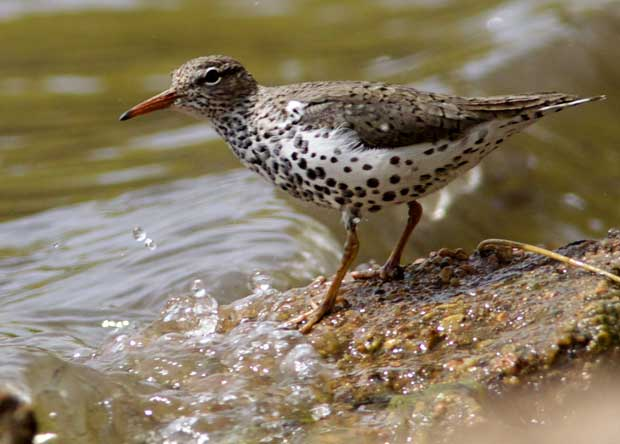 Spotted Sandpiper in breeding colors