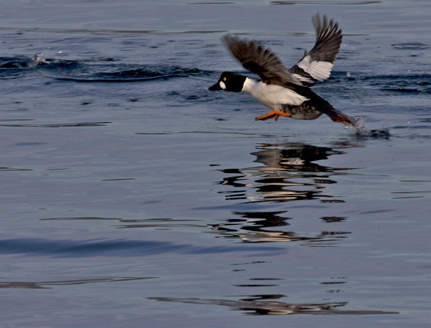 Common Goldeneye Taking Off