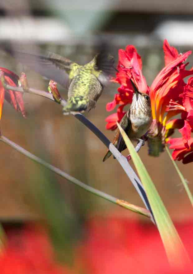 Two Hummingbirds Meet