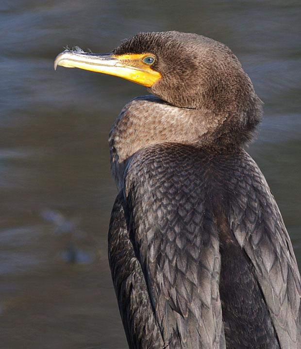 Cormorant Up Close