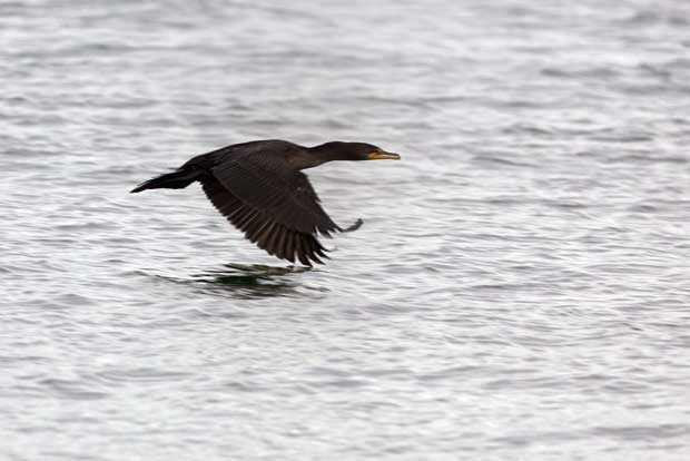 Cormorant Skimming Water