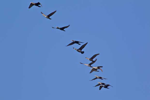 A Flight of Cormorants