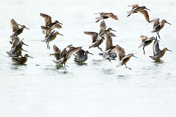 flock of Dowitchers Landing