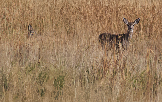 Deer and Fawn in Deep Grass