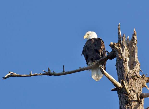 Eagle On Branch