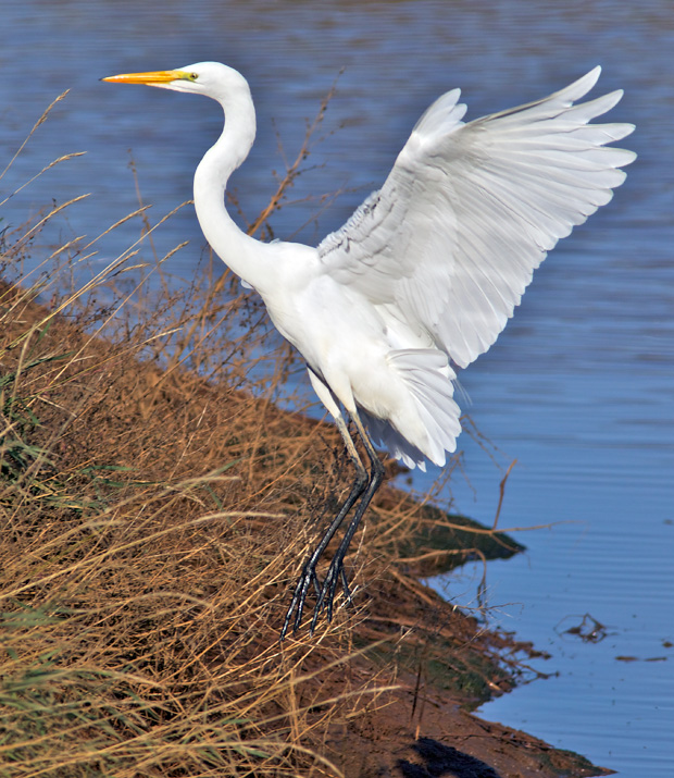 Great Egret Landing