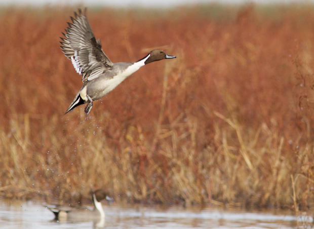 Northern Pintail Taking Off