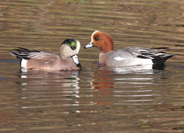 male Eurasian Widgeon