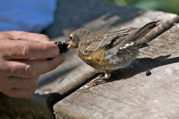 Man Feeding Young Robin