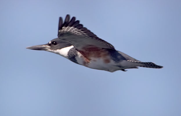 Female Belted-Kingfisher in Flight