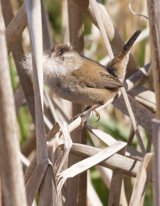 Wren with Nesting Materials